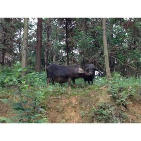 """大凉山""""高家山""""彝家黑猪肉,原生态养殖!"""