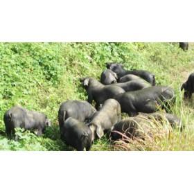 彝族放养黑猪肉,肥而不腻,不爆油!