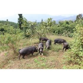 大凉山放养黑猪肉,定量出售!